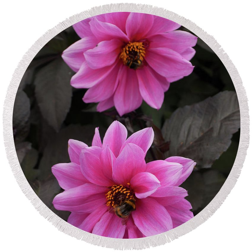 Pink Round Beach Towel featuring the photograph Pink Dahlias With Bees by Josie Gilbert