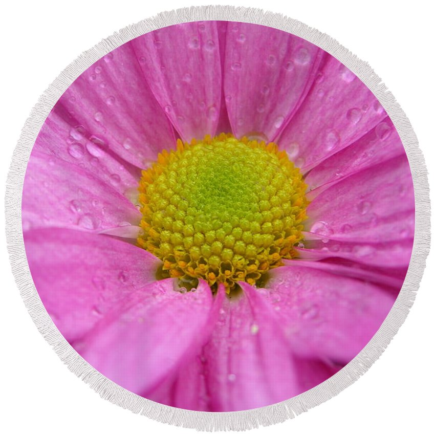 Pink Daisy Round Beach Towel featuring the photograph Pink Daisy With Raindrops by Carol Groenen