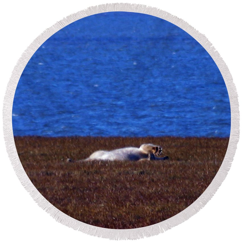 Polar Bear Round Beach Towel featuring the photograph Polar Bear Rolling In Tundra Grass by Anthony Jones