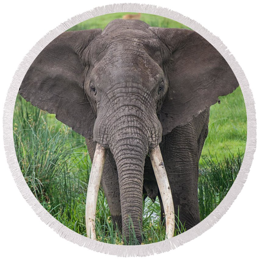 Photography Round Beach Towel featuring the photograph Portrait Of African Elephant Loxodonta by Panoramic Images