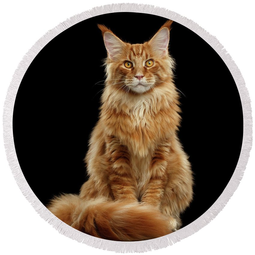 Angry Round Beach Towel featuring the photograph Portrait Of Ginger Maine Coon Cat Isolated On Black Background by Sergey Taran