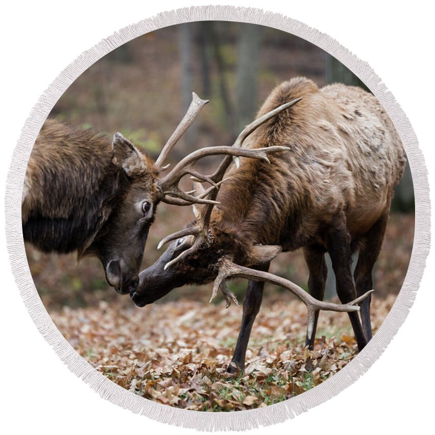 Elk Round Beach Towel featuring the photograph Practicing by Andrea Silies