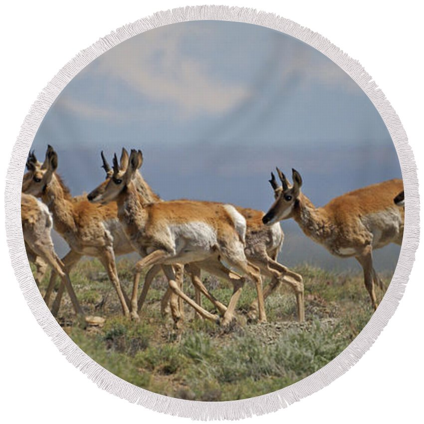 Pronghorn Round Beach Towel featuring the photograph Pronghorn Antelope Running by Heather Coen