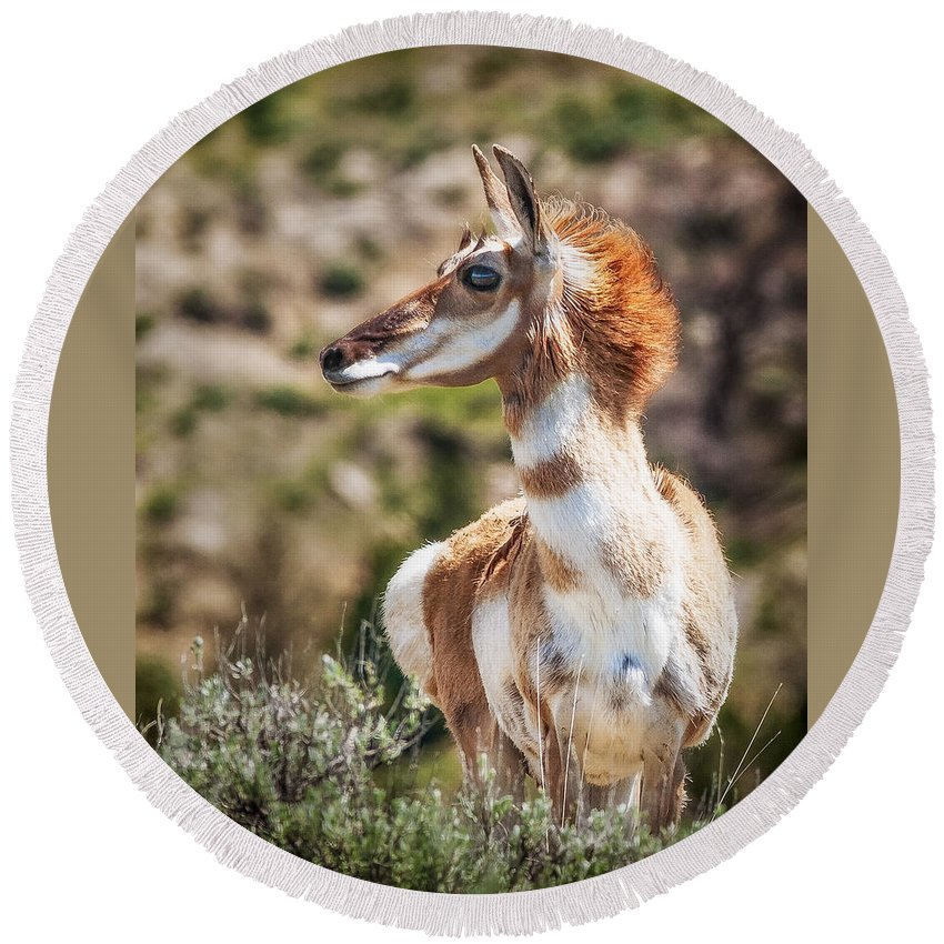 Animals Round Beach Towel featuring the photograph Pronghorn Mother by Rikk Flohr