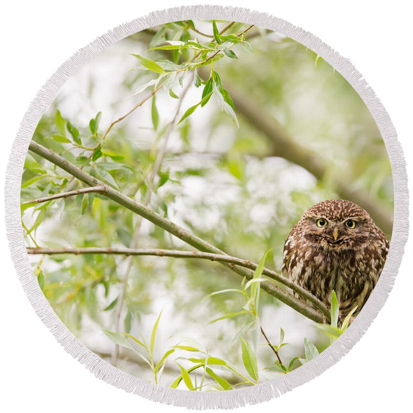 Little Owl Round Beach Towel featuring the photograph Puffed Up Little Owl In A Willow Tree by Roeselien Raimond