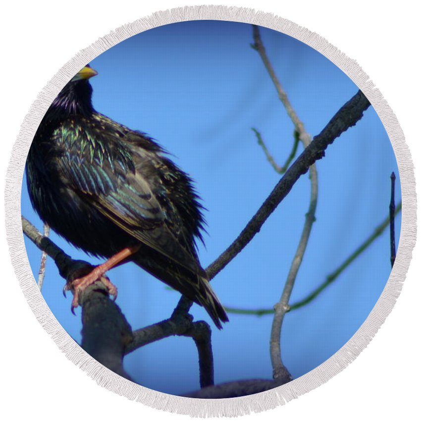 Starling Round Beach Towel featuring the photograph Puffed Up Starling by Kathy Barney