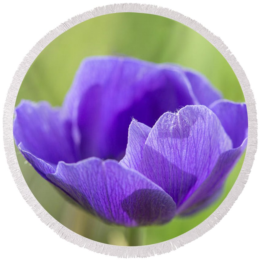 Anemore Round Beach Towel featuring the photograph Purple Anemone Flower by Iris Richardson