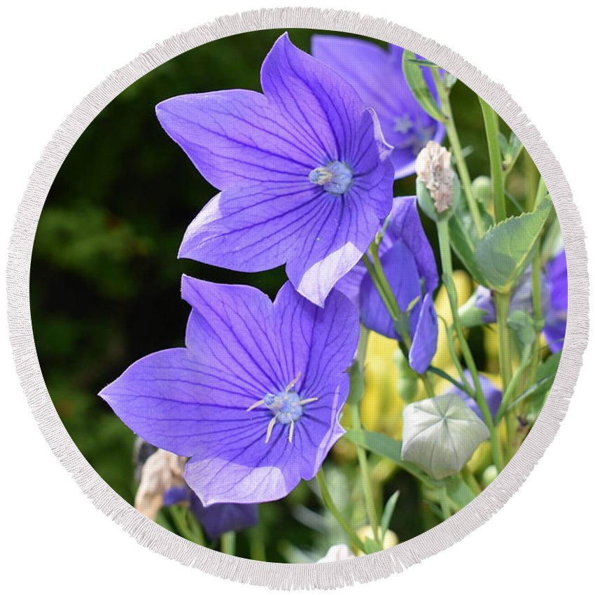 Purple Round Beach Towel featuring the photograph Purple Balloon Flower by Nina Kindred