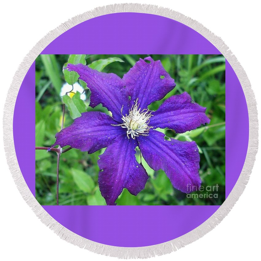 Purple Clematis Round Beach Towel featuring the photograph Purple Clematis by Anne Sands