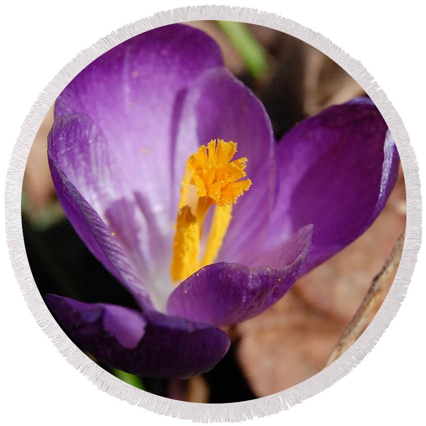 Digital Photography Round Beach Towel featuring the photograph Purple Crocus by David Lane