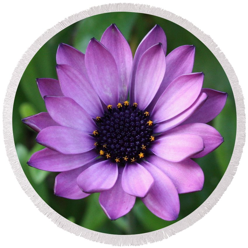 Purple Flower Round Beach Towel featuring the photograph Purple Daisy Square by Carol Groenen