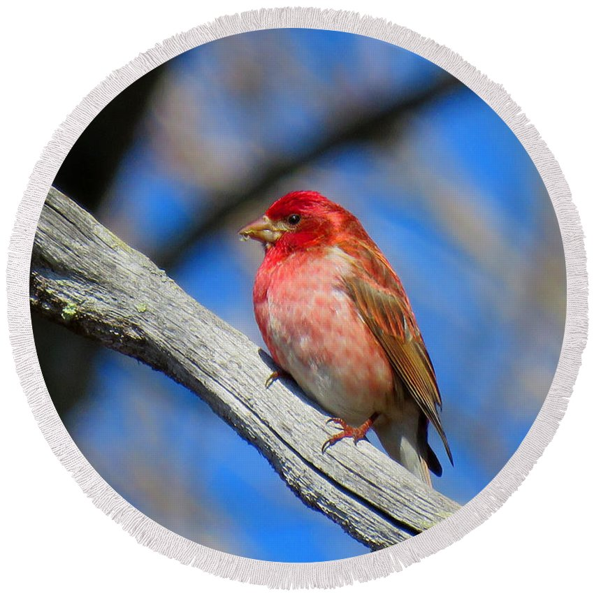 Finch Round Beach Towel featuring the photograph Purple Finch In Spring by Dianne Cowen