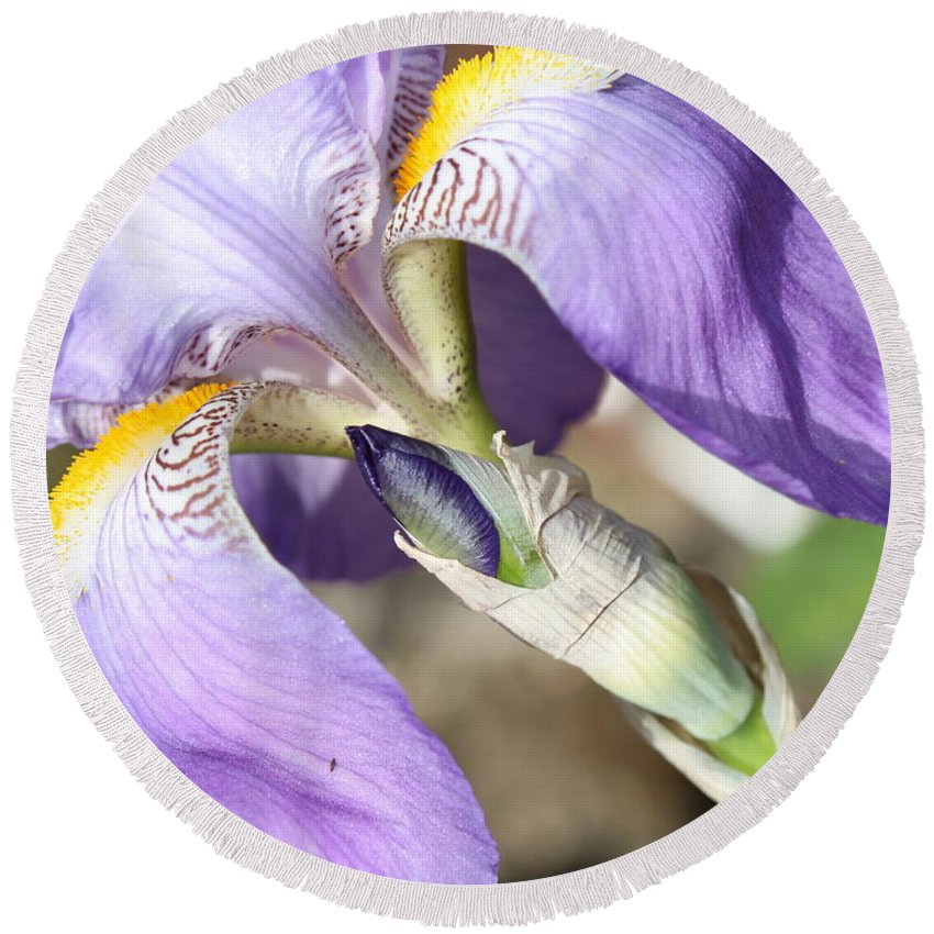 Iris Round Beach Towel featuring the photograph Purple Iris With Focus On Bud by Carol Groenen