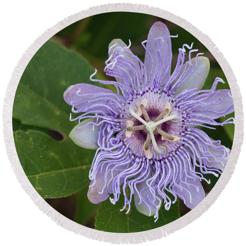Passionflower Round Beach Towel featuring the photograph Purple Passionflower #2 by Paul Rebmann