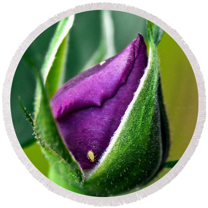 Rose Round Beach Towel featuring the photograph Purple Rose Bud by Christopher Holmes