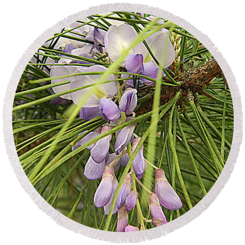 Wisteria Round Beach Towel featuring the photograph Pushing Though Or Wisteria And Long Needle Pine by Kathy Barney