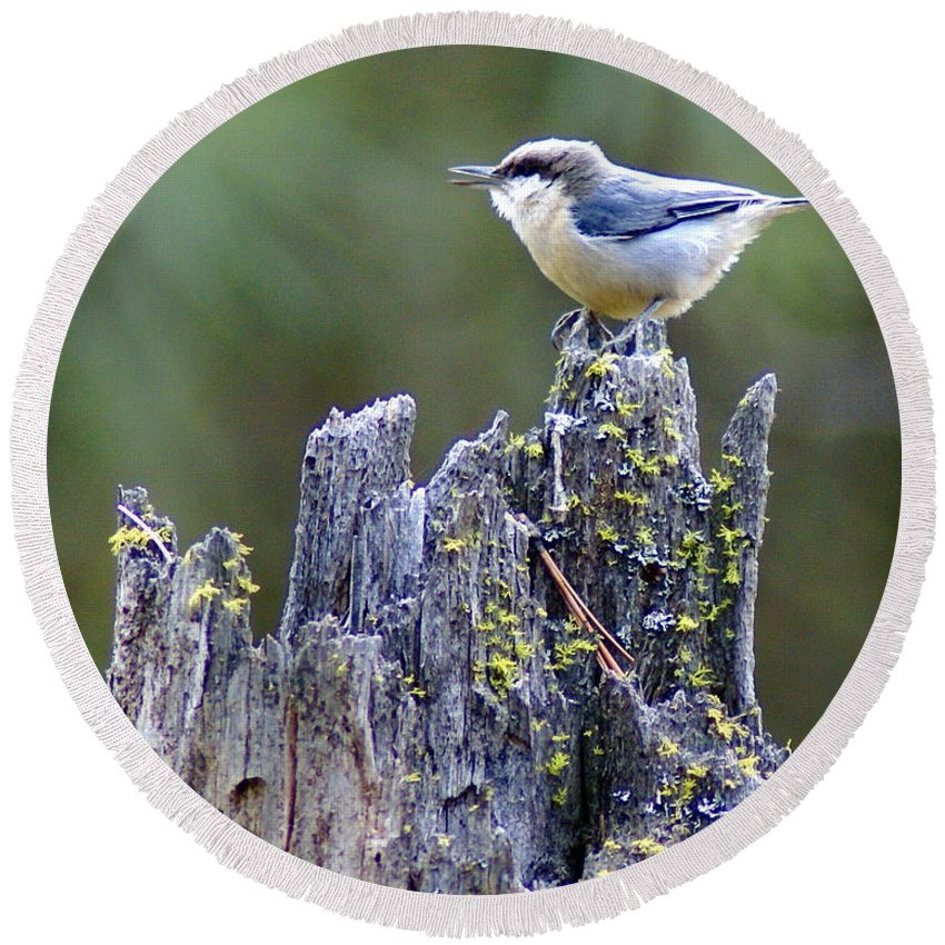 Birds Round Beach Towel featuring the photograph Pygmy Nuthatch by Ben Upham III