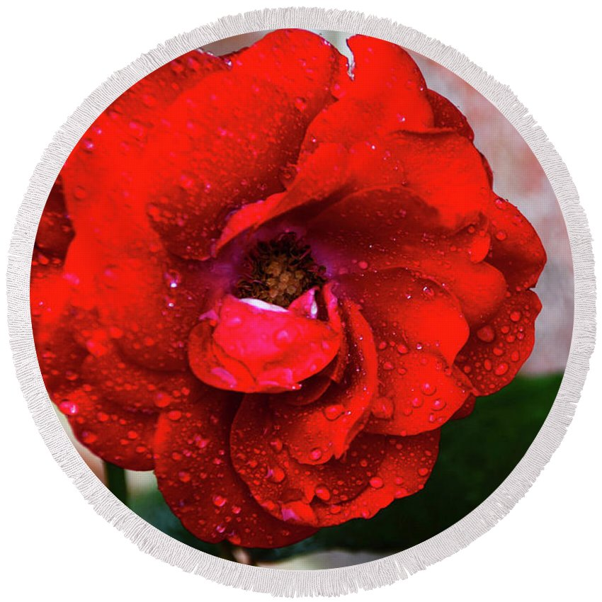 Brick Wall Round Beach Towel featuring the photograph Rain Covered Red Rose by Soni Macy