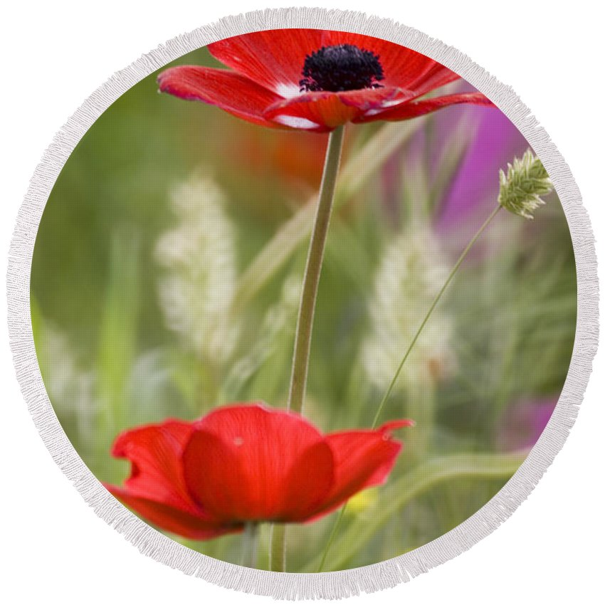 Red Round Beach Towel featuring the photograph Red Anemone Coronaria In Nature by Ofer Zilberstein