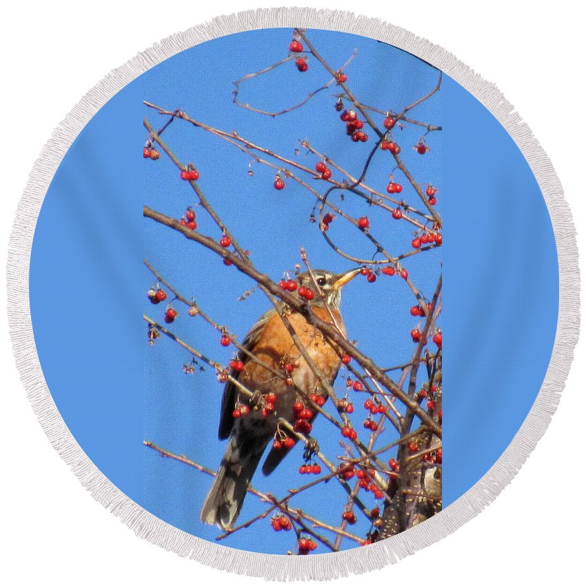 Red Berry Robin Red Belly Robin North American Robin Spring Robin Red Belly Birds Of North America Avian Diversity Ornithology Birds Of Spring Round Beach Towel featuring the photograph Red Berry Robin by Joshua Bales