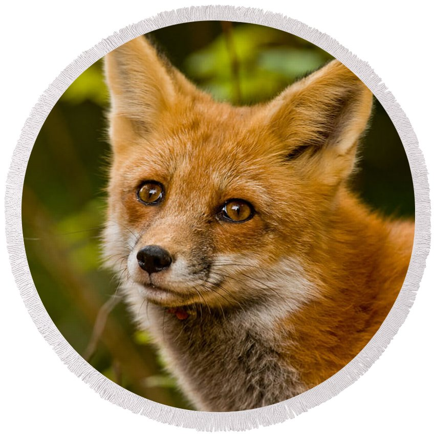 Red Fox Round Beach Towel featuring the photograph Red Fox Pictures 155 by World Wildlife Photography