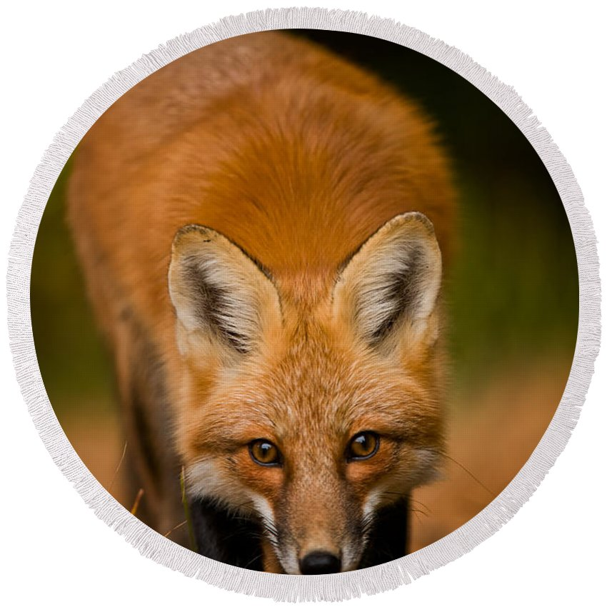 Red Fox Round Beach Towel featuring the photograph Red Fox Pictures 161 by World Wildlife Photography
