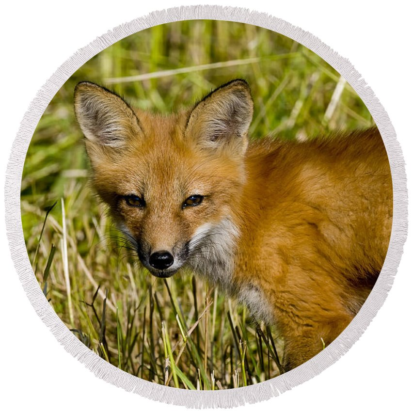 Red Fox Round Beach Towel featuring the photograph Red Fox Pictures 34 by World Wildlife Photography