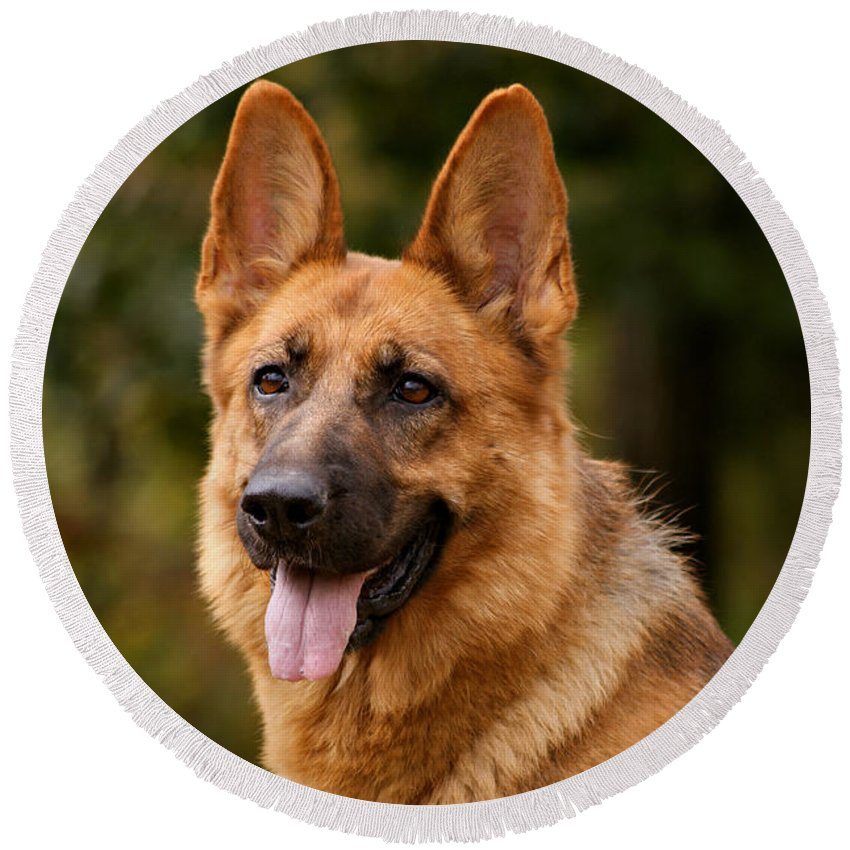 German Shepherd Round Beach Towel featuring the photograph Red German Shepherd Dog by Sandy Keeton