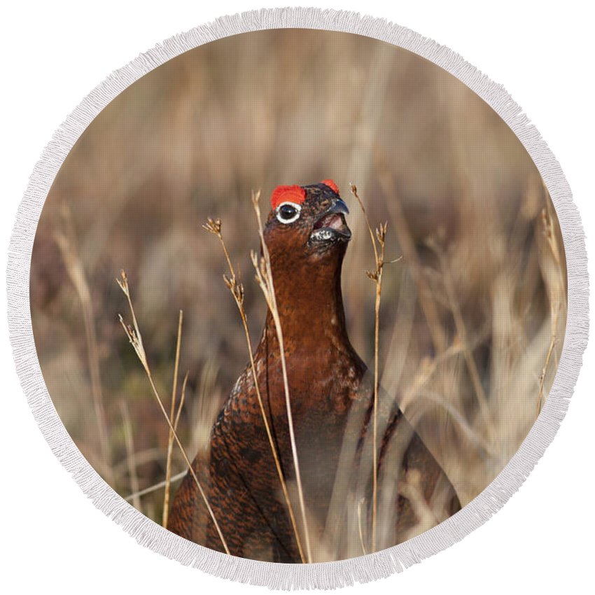 Red Grouse Round Beach Towel featuring the photograph Red Grouse Calling by Karen Van Der Zijden
