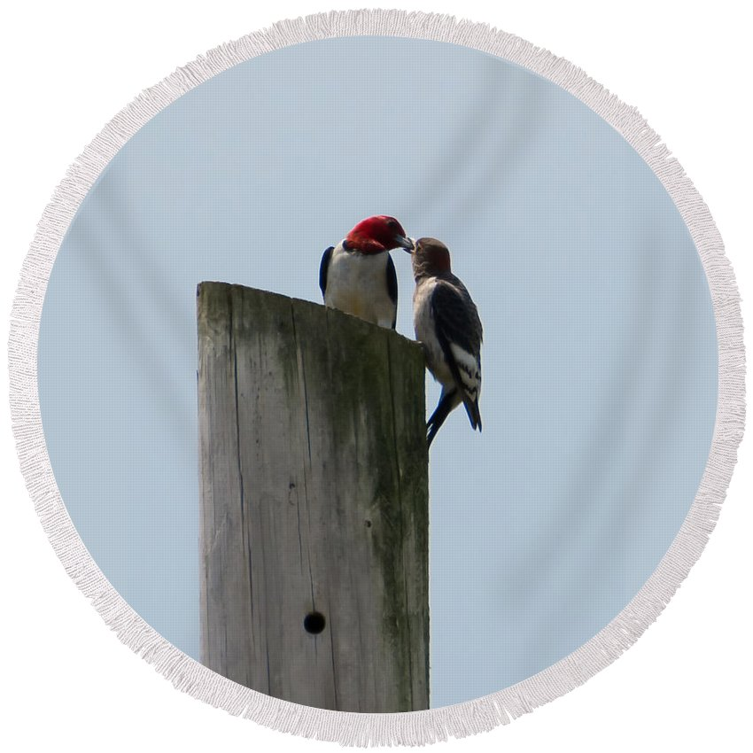 Red Headed Woodpeckers Round Beach Towel featuring the photograph Red Headed Woodpeckers by Jan M Holden