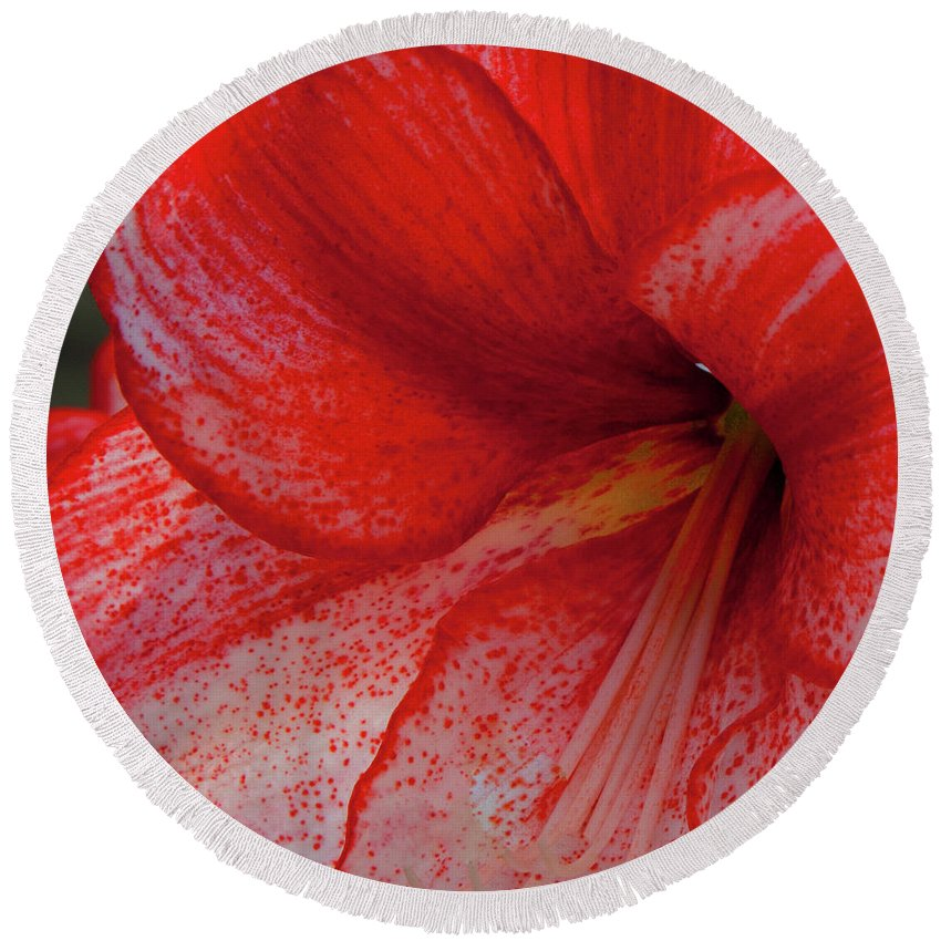 Botanico Round Beach Towel featuring the photograph Red Hippeastrum Charisma by Philip Enticknap