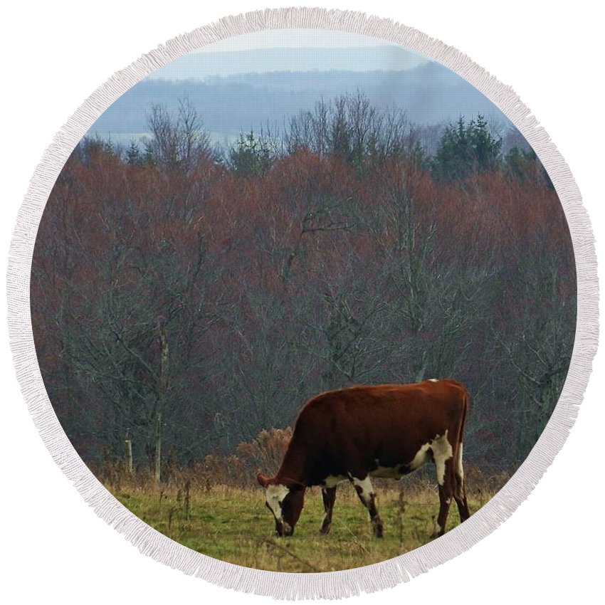 Dairy Round Beach Towel featuring the photograph Red Holstein Of The Hills by Christian Mattison