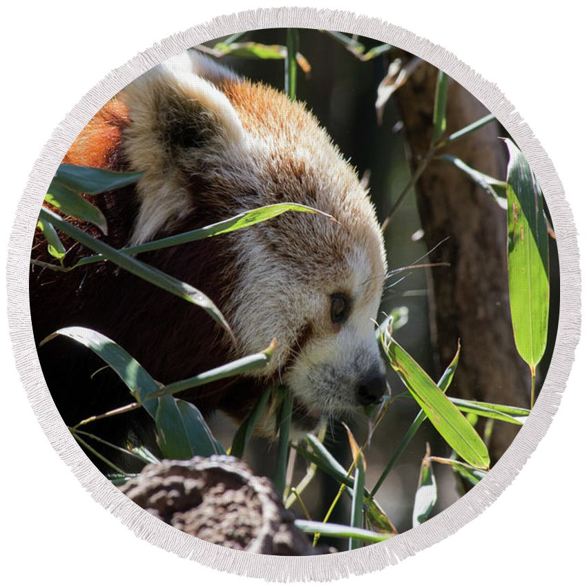 Panda Round Beach Towel featuring the photograph Red Panda by ChelleAnne Paradis