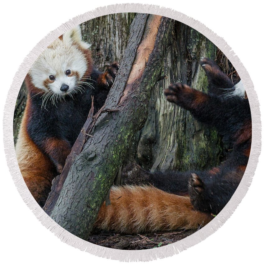 Greg Nyquist Round Beach Towel featuring the photograph Red Panda Cubs At Play by Greg Nyquist