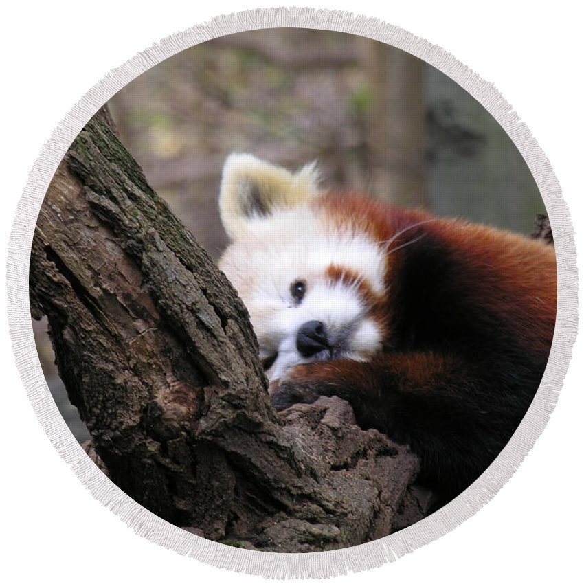 Red Round Beach Towel featuring the photograph Red Panda by Diane Greco-Lesser