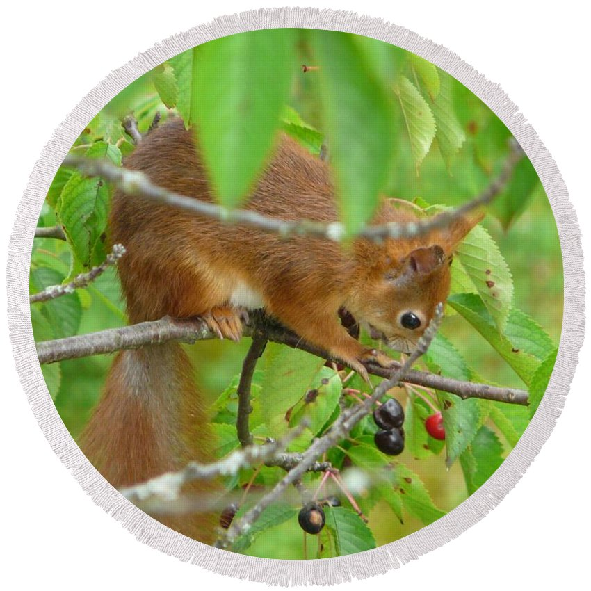 Animal Round Beach Towel featuring the photograph Red Squirrel In The Cherry Tree by Valerie Ornstein
