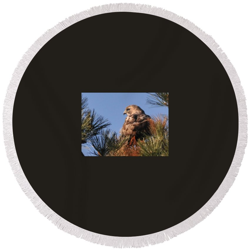 Red Tail Hawk In The Pines Round Beach Towel featuring the photograph Red Tail In The Pines by Bill Driscoll