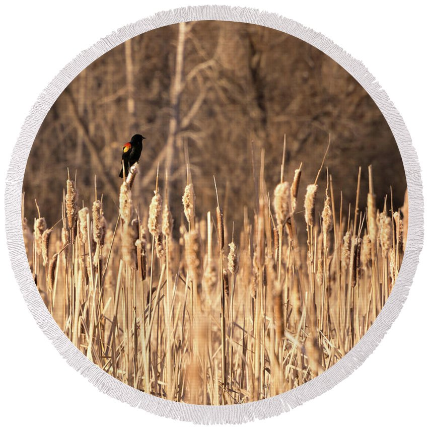 Bird Round Beach Towel featuring the photograph Red Winged Blackbird On Cattails by Cary Leppert