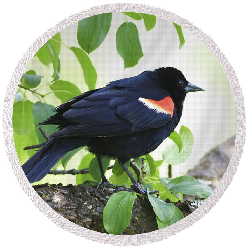 Bird Round Beach Towel featuring the photograph Red Winged In Montreal by Deborah Benoit
