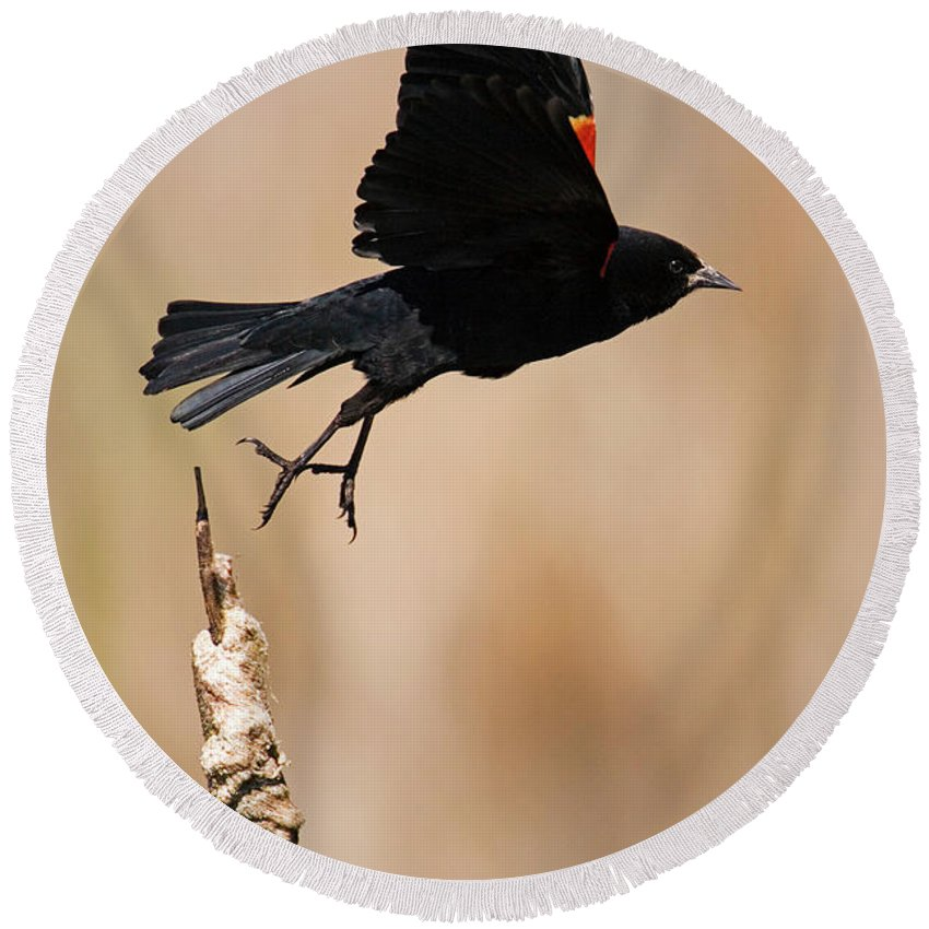 Red-winged Blackbird Round Beach Towel featuring the photograph Red-winged Takeoff by Randall Ingalls