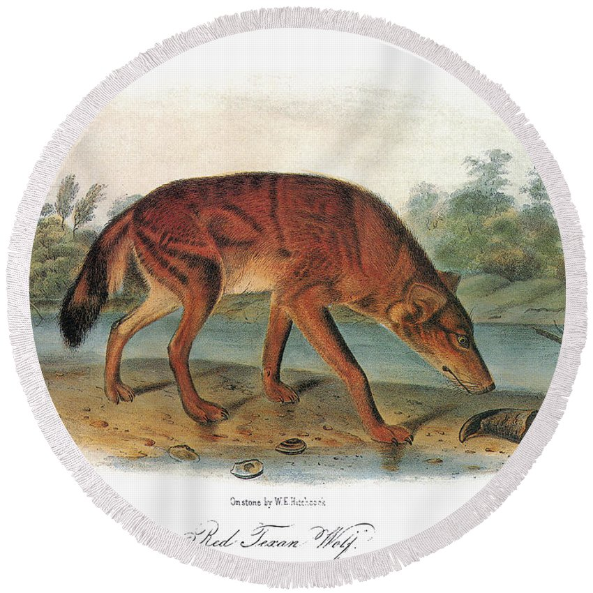 1846 Round Beach Towel featuring the photograph Red Wolf (canis Lupus) by Granger