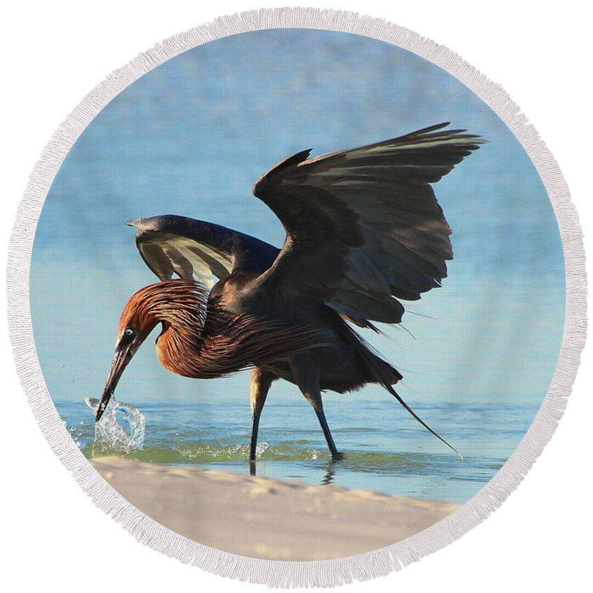 Reddish Egret Round Beach Towel featuring the photograph Reddish Egret Nabs A Fish by Barbara Bowen