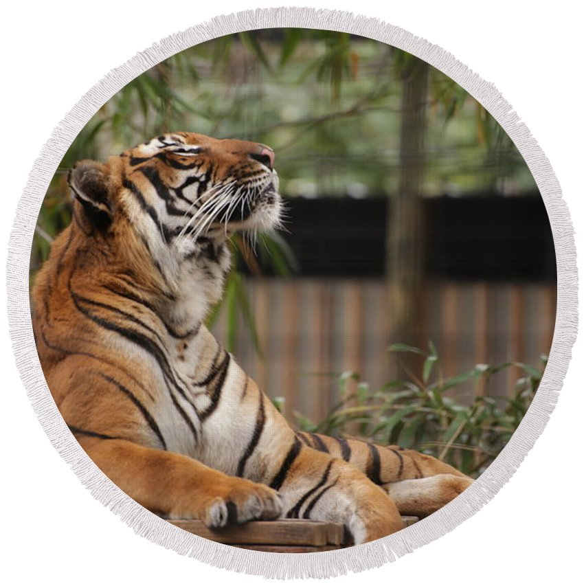 Tiger Round Beach Towel featuring the photograph Regal Tiger by Jim Allsopp