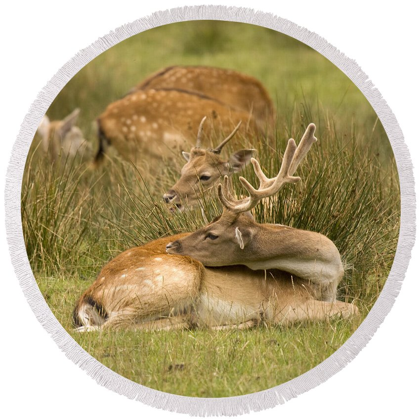 Fallow Deer Round Beach Towel featuring the photograph Rest Time by Angel Tarantella