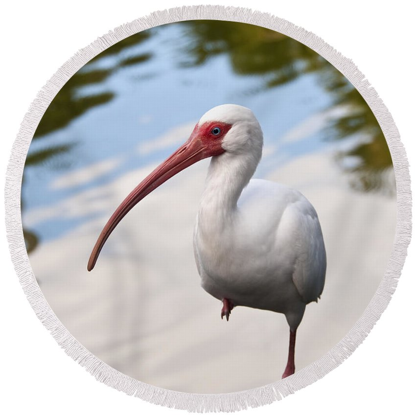 White Ibis Round Beach Towel featuring the photograph Resting On One Leg by Steven Sparks