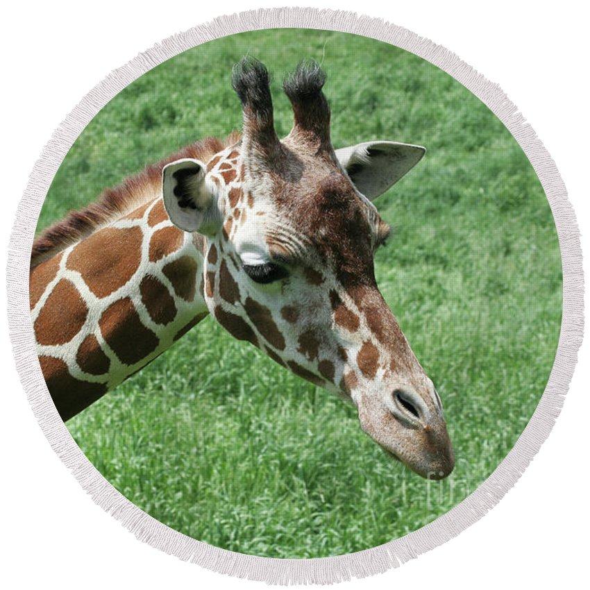Giraffe Round Beach Towel featuring the photograph Reticulated Giraffe #3 by Judy Whitton