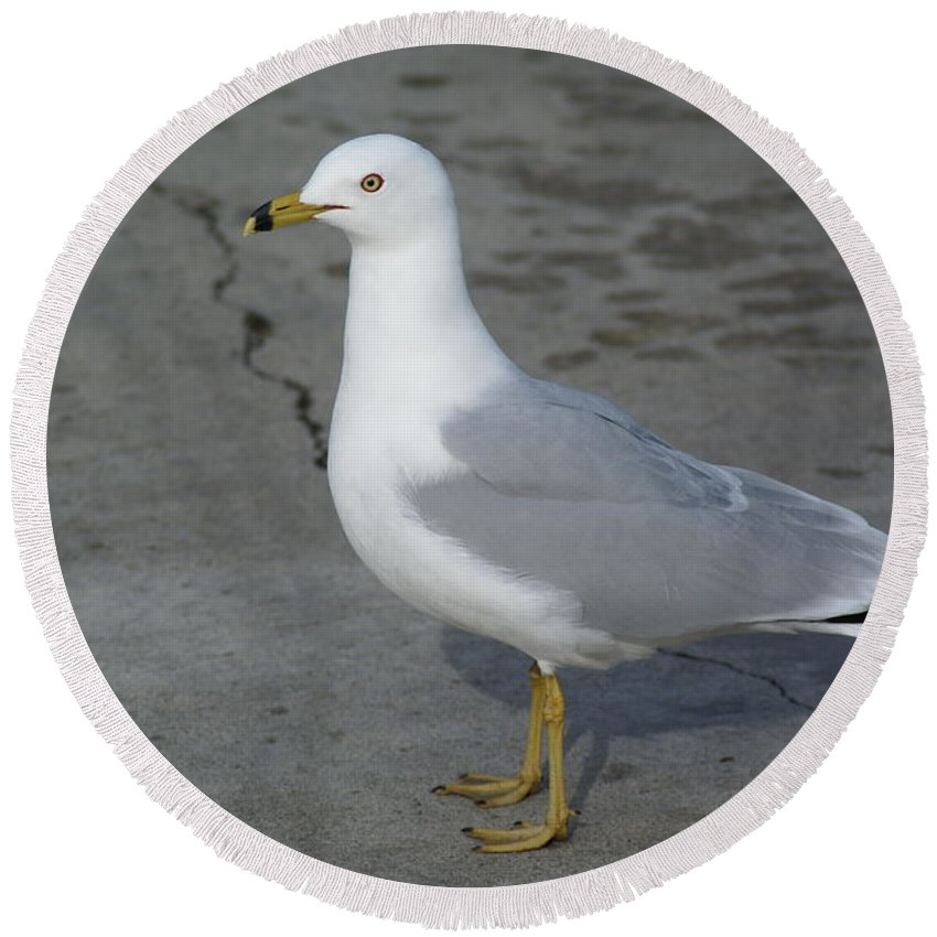Birds Round Beach Towel featuring the photograph Ring-billed Gull by Ben Upham III