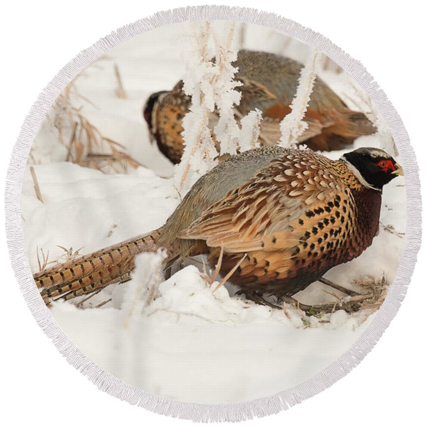 Bird Round Beach Towel featuring the photograph Ring-necked Pheasant Hunting In The Snow by Dennis Hammer