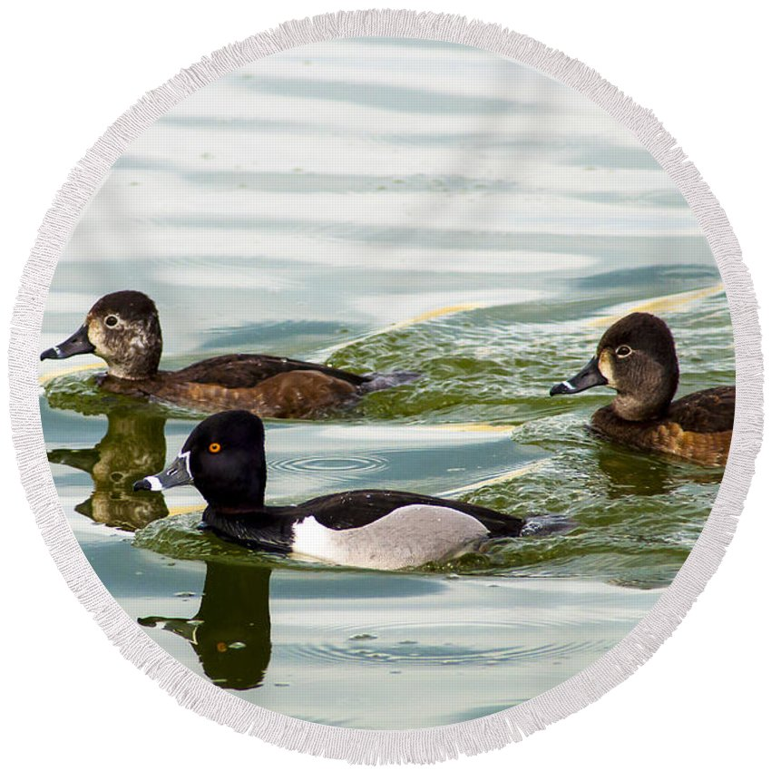 Ring Necked Duck Round Beach Towel featuring the photograph Ring-necked Trio by Norman Johnson