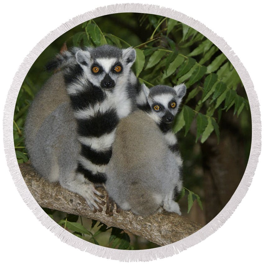 Madagascar Round Beach Towel featuring the photograph Ring-tailed Lemurs by Michele Burgess